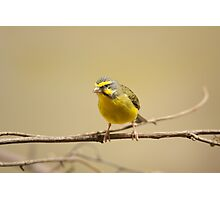 Green singing finch Photographic Print