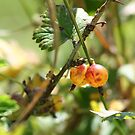 Gooseberries in Nan's garden by DarrylEPalmer