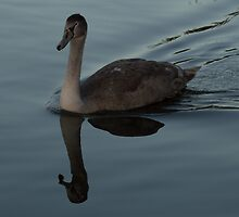 Cygnet Reflection by Robert Carr