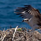 Osprey Landing by Steve Bulford