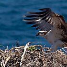 Osprey Landing by Steve Bulford