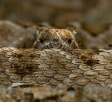 Rattleless Rattlesnake! by Steve Bulford