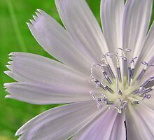 Chicory Flower by LinaFrancisco