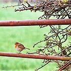 English Robin by Susie Peek