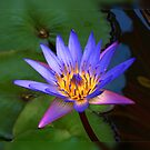 Water Lily by Hans Kawitzki