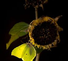 Impression with dried sunflower by JBlaminsky