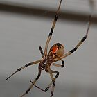Brown widow by BiGPaPa