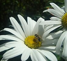 Hoverfly and Daisy by shane22
