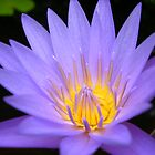 Purple Water Lily by Michelle Jarvie