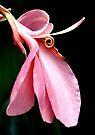 Pink Phutaracsa by Dave Lloyd