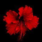 Hibiscus by Nausinora