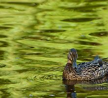 Boston Duck by jrehrig