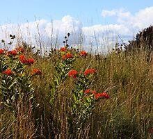 A Field of Wildflowers ~ Milkweeds   by SummerJade