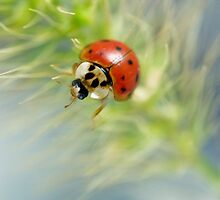 Ladybug VII by Leisa  Hennessy