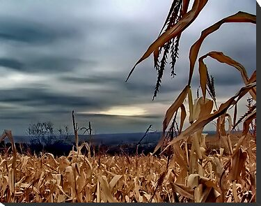 Over the Corn by Cheri Perry
