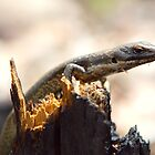 Lizard on wood by robertp