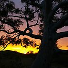 Sunset Gum, Flinders Ranges, South Australia by pmitchell