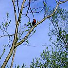 Bull Finch in Sun by TimHatcher