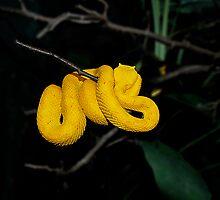 Eyelash Viper (sleeping beauty) by naman
