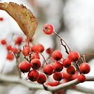 Kwanzaa Cherries by Poete100