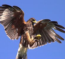 Harris Hawk by SWEEPER
