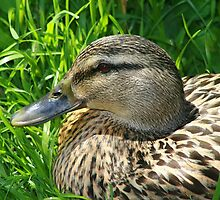 Sitting Duck by photomama4