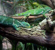 Iguana by Shane Field
