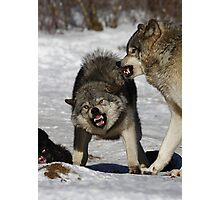 Back off! - Timber Wolf Photographic Print