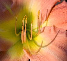 Peach & Yellow DayLily by jenndes