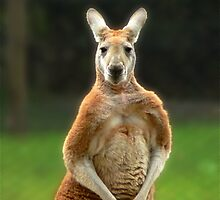 Kangaroo by margotk
