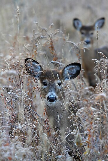 In the Meadow - White-tailed deer by Jim Cumming
