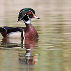 Silky Waters - Wood Duck by Jim Cumming