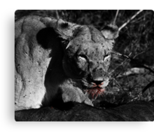 Lioness on a Kill - B&W Canvas Print
