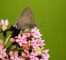 Hairstreak Butterfly on Flowers by Christina Rollo