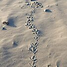 Oystercatcher tracks in the sand by sarnia2