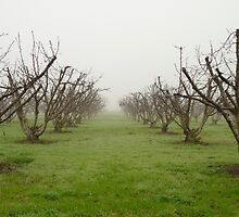 Foggy Orchard by UrsulaRodgers