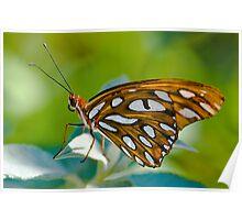 Agraulis Vanillae,Gulf Fritillary Butterfly Poster