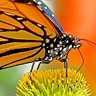 Monarch butterfly  by Eyal Nahmias