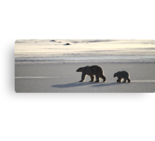 Silver Glow Panorama. Polar Bears at Sundown, Churchill, Canada  Canvas Print