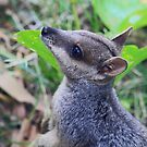 Wallaby by Sara Lamond
