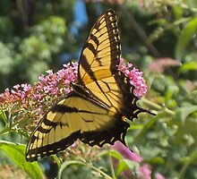 Eastern Tiger Swallowtail Butterfly Closeup Photography  by VisionQuestArts