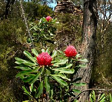 Waratah's at Narrowneck in the Lords Blue Mountains by STEPHEN GEORGIOU
