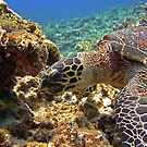Karamas Sea Turtle by Michael Powell