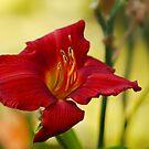 Red Daylily by Irina777