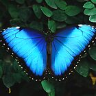 Elusive Blue Morph by dmiller804