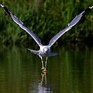 Seagull walks on water by Jim Cumming