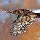 Turkey Flying 2 - Wild Turkey, Ottawa, Canada by Jim Cumming