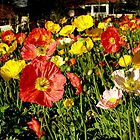 Poppies parked in Canterbury by paxempire