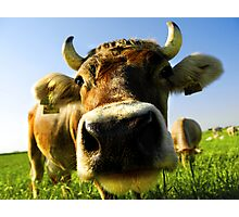nosy cow Photographic Print