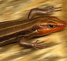 Broad-headed Skink by Evelyn Laeschke